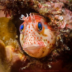 Chilean mussel blenny (Hypsoblennius sordidus), at Papudo... by Thomas Heran